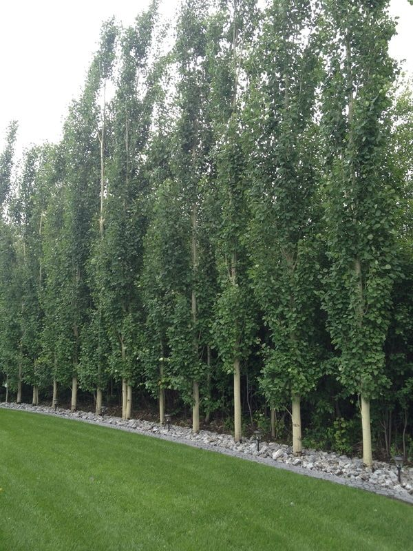 Swedish Aspen Popu Tremula Erecta Gardening