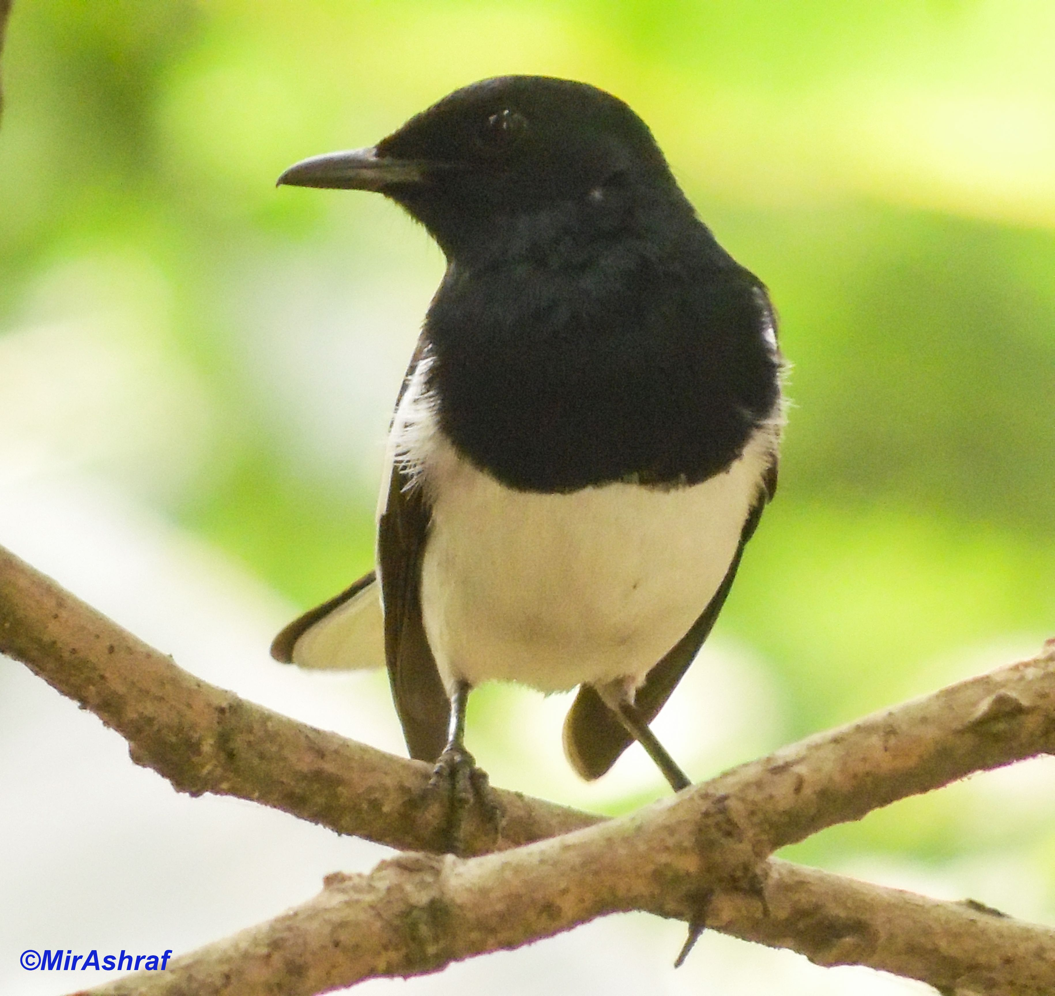 oriental magpie robin birds pinterest magpie and bird