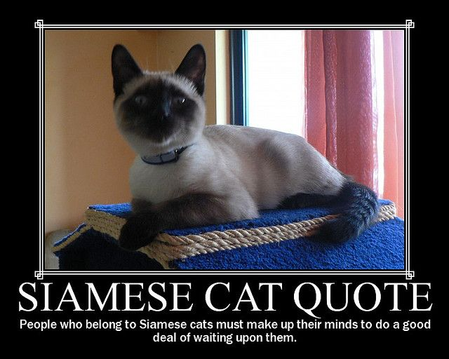 Siamese Cat Quote Siamese Cats Siamese Kittens Siamese Cats
