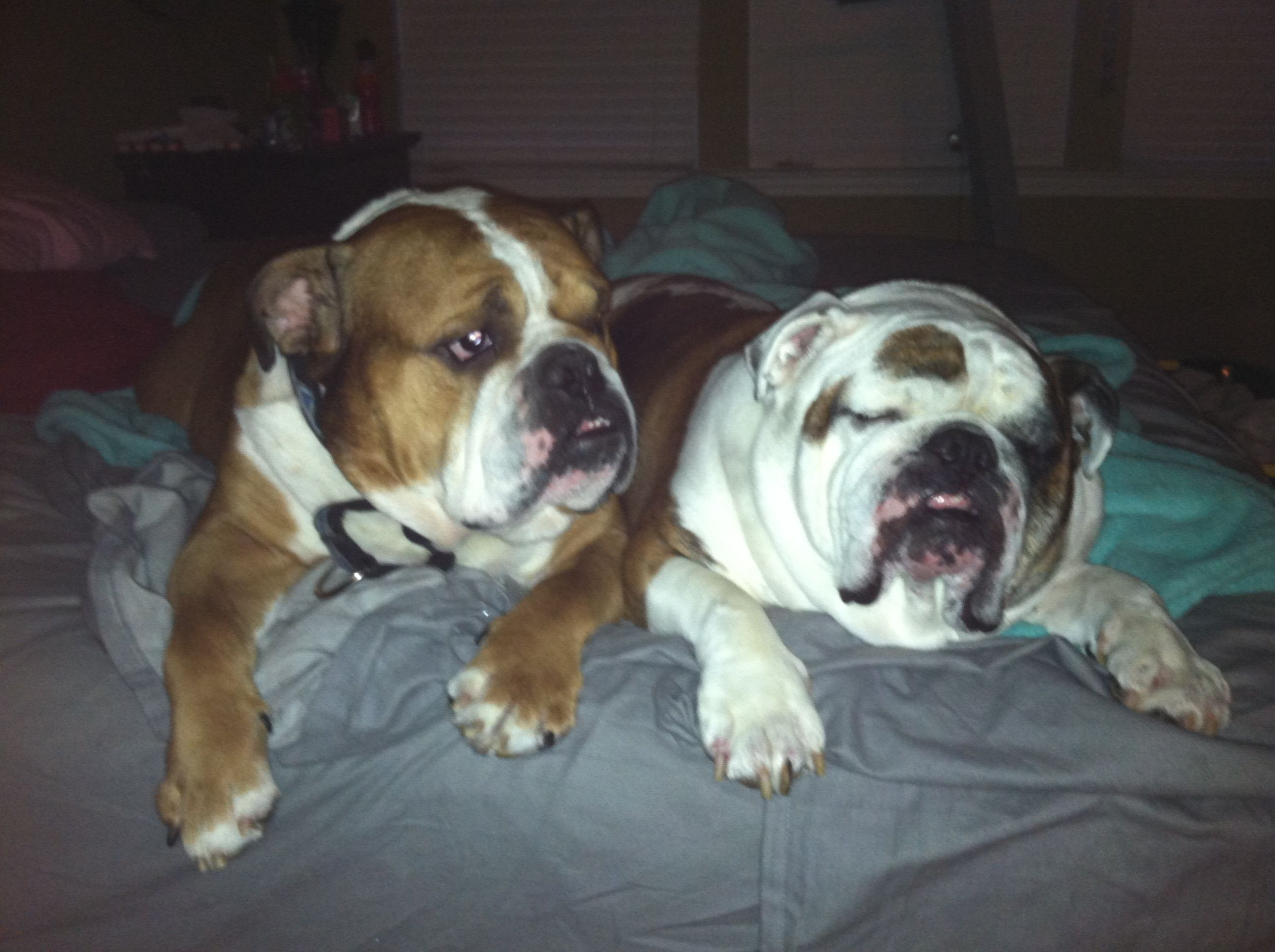 Total Of 200lbs Of Sweet Bulldog Love 3 Pet Dogs Animals Dogs