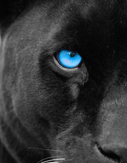 Black Jaguar Close Up That Eye Amazingly Beautiful Lion Eyes Black Jaguar Big Cats