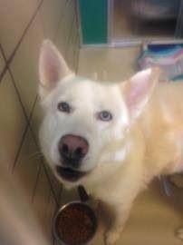 Founddog 6 6 14 Racine Wi Shepherd Husky Mix Adult Male 262