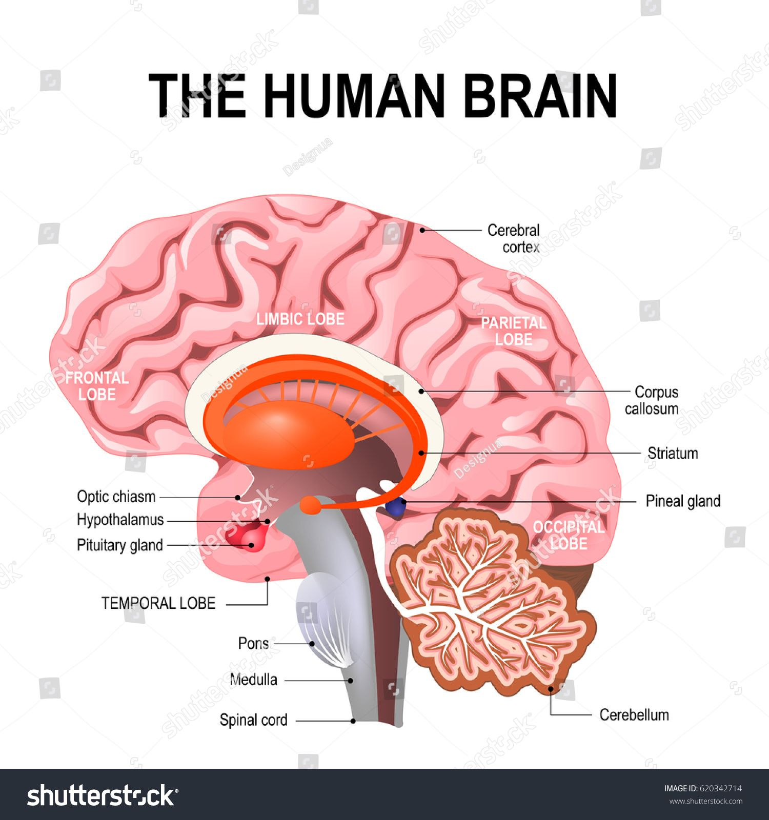 Detailed Anatomy Of The Human Brain Illustration Showing The Medulla Pons Cerebellum Hypothalamus Thala Brain Illustration Human Brain Human Brain Anatomy