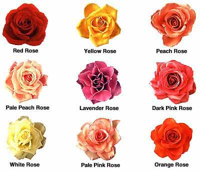 Roses names and pictures roses names and collection Colors that go with rose pink
