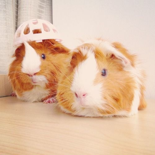 PHOTO OP: Meanwhile, at the Guinea Pig Salon… Via faye2queen.