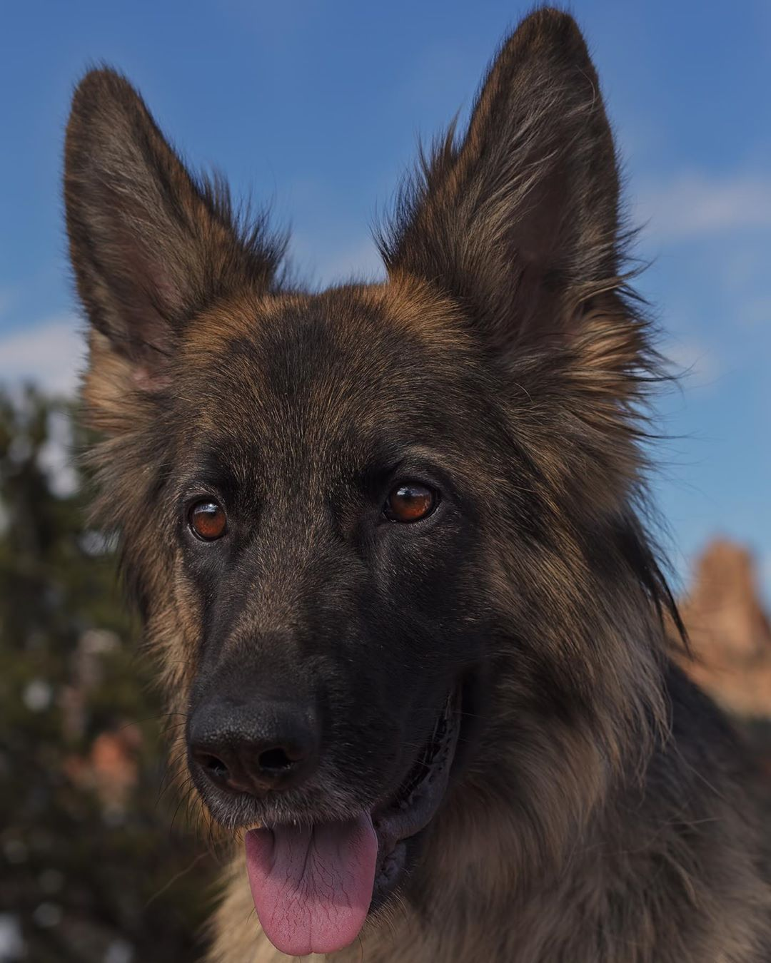 Is Your Dog Filling Up On Fillers German Shepherd Dogs Best