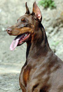 Doberman Pinscher dog breed Pets are Fur Babies