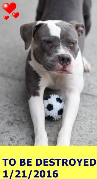 SAFE 1-23-2016 by Last Chance Animal Rescue --- Brooklyn Center FIFTY – A1062540  FEMALE, GRAY / WHITE, AM PIT BULL TER MIX, 1 yr STRAY – STRAY WAIT, NO HOLD Reason ABANDON Intake condition EXAM REQ Intake Date 01/08/2016 http://nycdogs.urgentpodr.org/fifty-a1062540/
