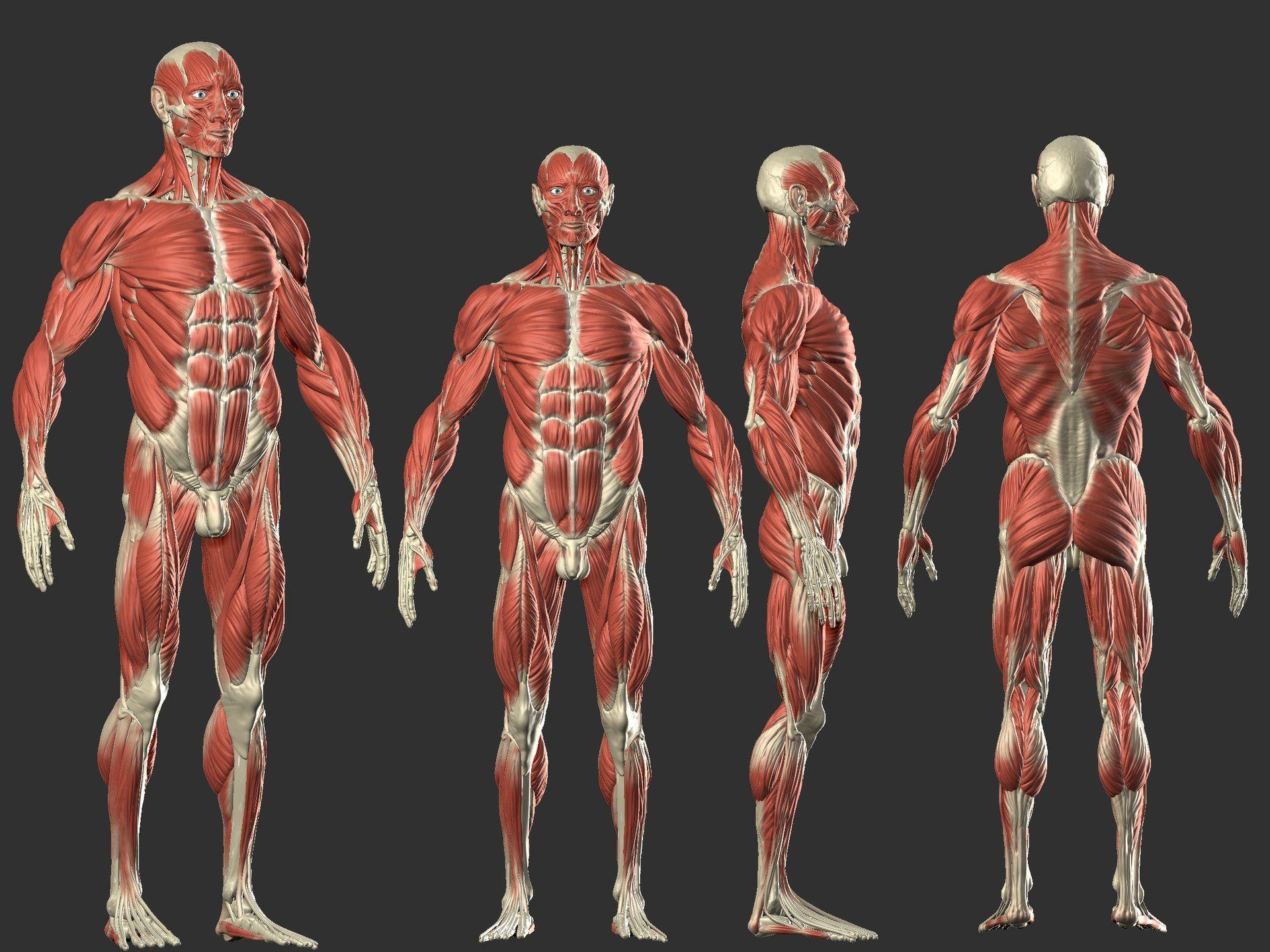 ArtStation - Male Anatomy, Kevin Cayuela (KevinHeiwart) | rigging ...