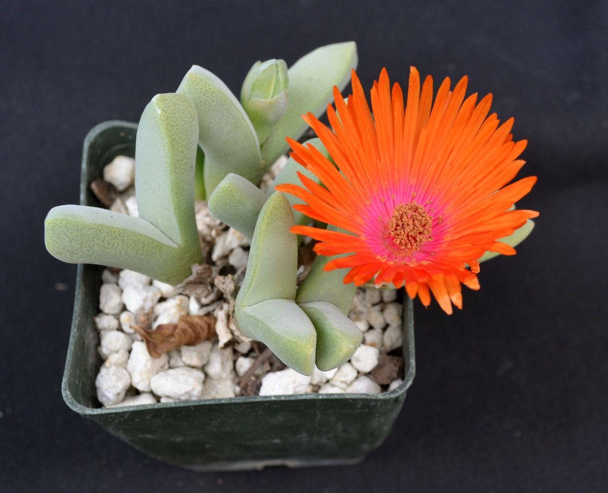 cheiridopsis speciosa sunset glow Cacti and succulents