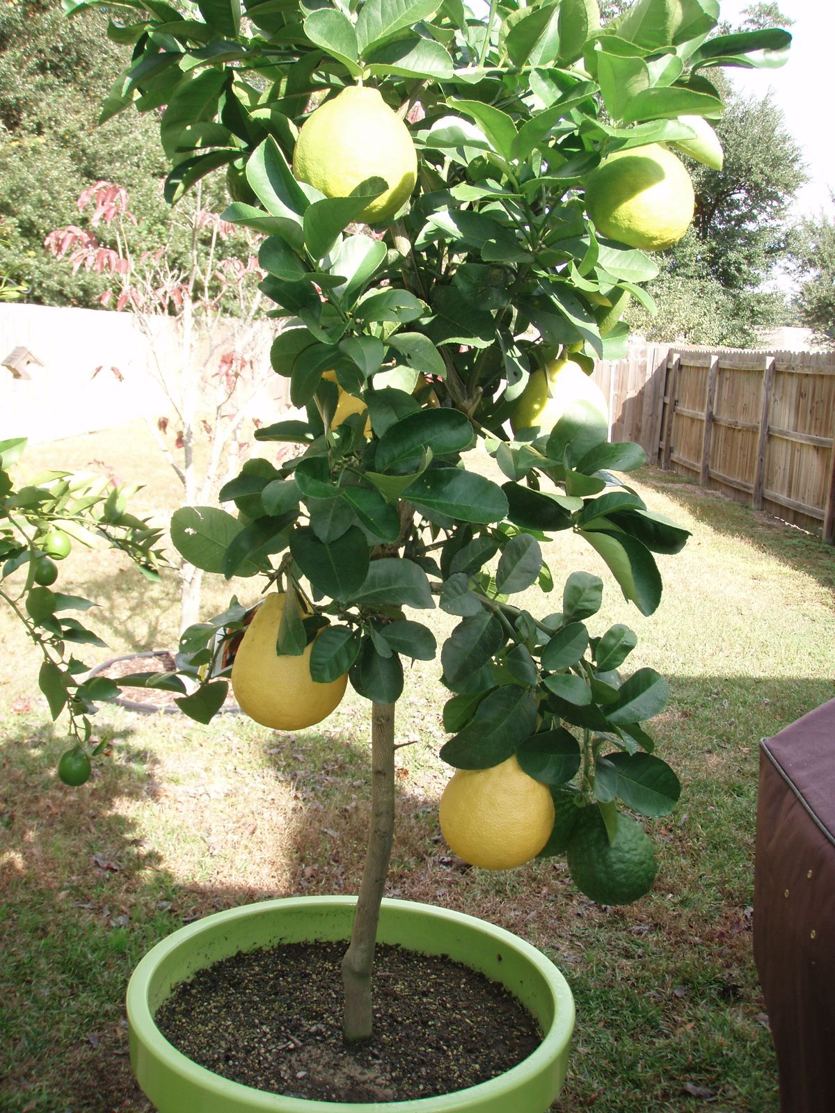 Growing Lemon Tree In A Pot