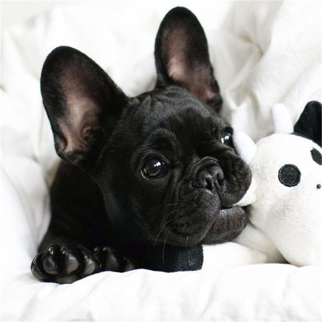 All Black French Bulldog Puppy Puppies Cute Animals French
