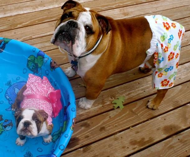 Our Roxy Needs A Pool And Bathing Suit Bulldogs Bulldog
