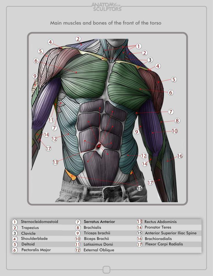 Torso Muscles | Dibujo | Pinterest | Zeichnen