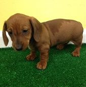 Dachshund Dachshund Puppies Dachshund Puppies For Sale Dachshund