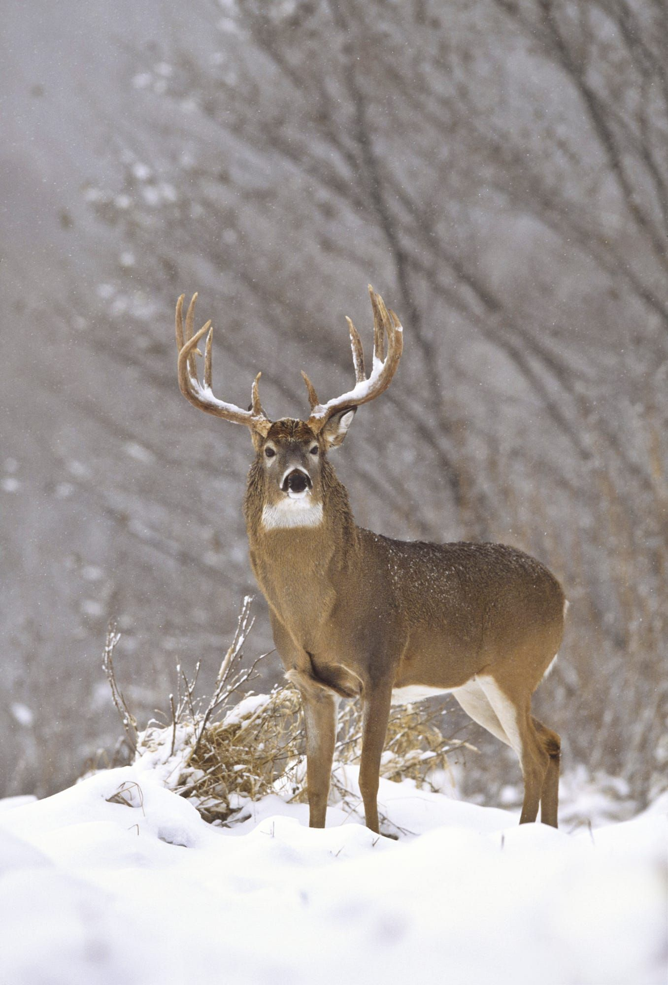 Whitetail buck in winter Whitetail deer pictures, Deer