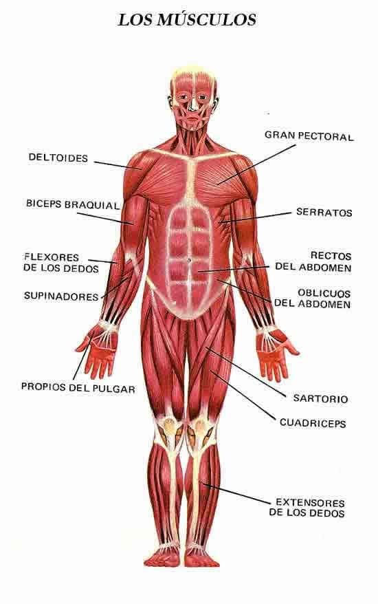 ficha educativa de los musculos del cuerpo humano para niños ...