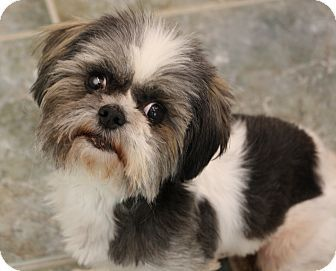 Pictures Of Cj A Shih Tzu For Adoption In Greensboro Nc Who Needs