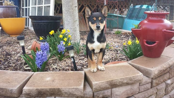 Hana is a 3-month old female Shiba Inu mix. She will be adopted with a spay contract, will be up to date on vaccines and microchipped, and will be available to adopt pending vet and temperament assessments.