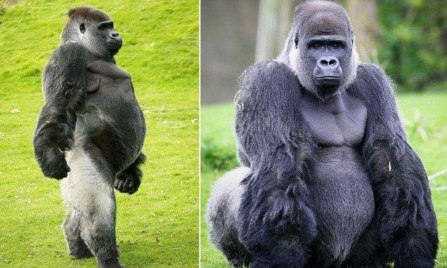 Resultado de imagem para ambam gorila