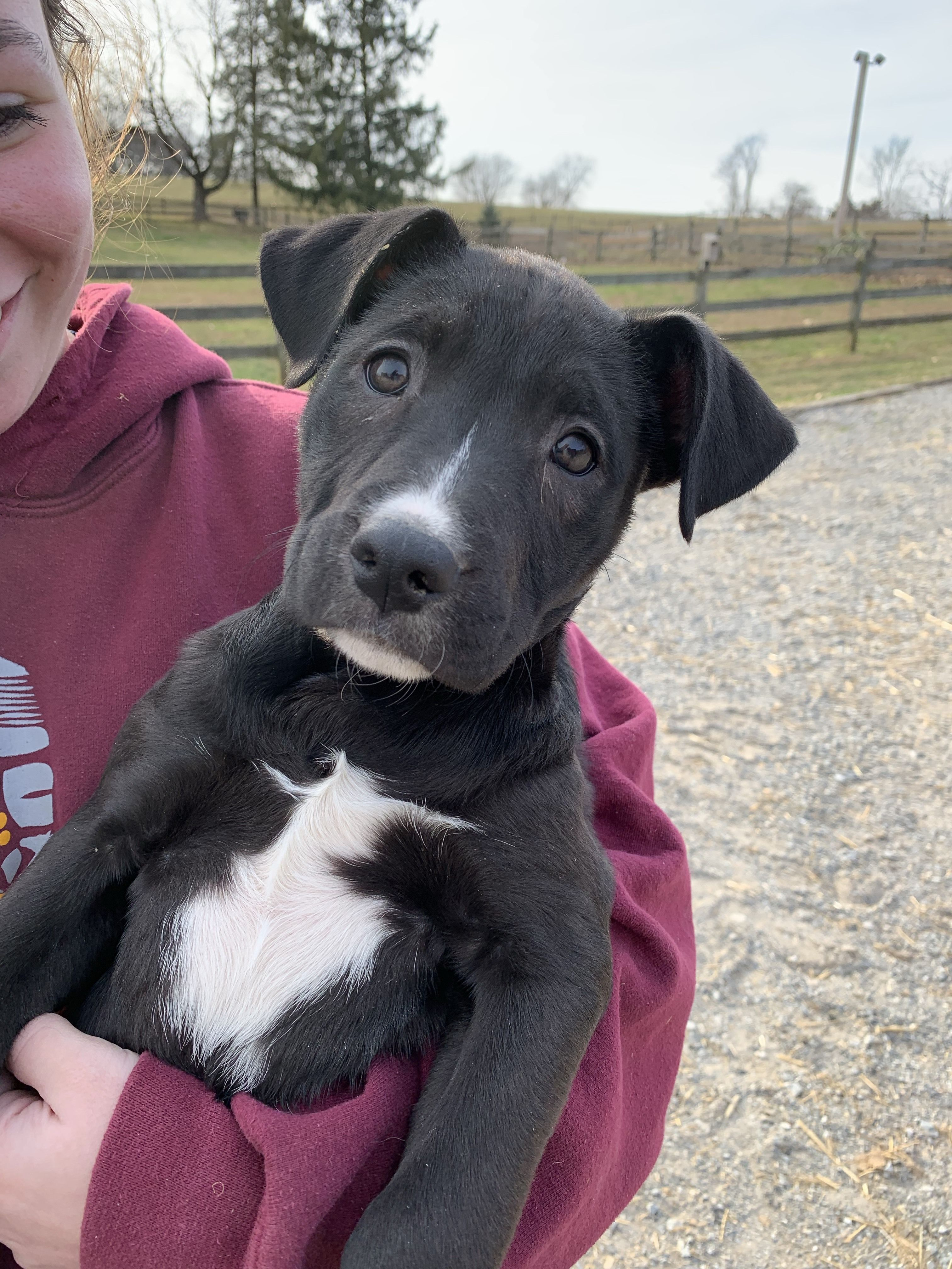 Adopt Lab/Boxer Pups M on Petfinder Boxer puppies, Dogs