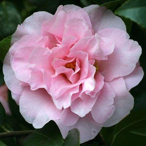 Jim's Camellias - Gallery D