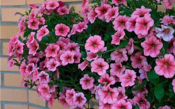 Как правильно осуществлять ампельное выращивание петунии в 47