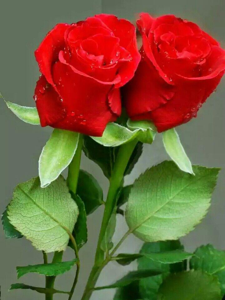 ℒℴvℯlyღred Roseღ Roses Pinte