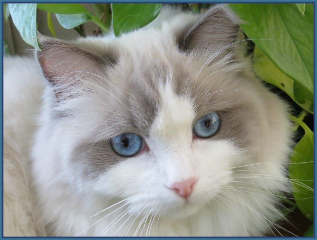 Our Ragdoll Cats Crescent Moon Ragdolls Cat Ragdoll Kittens For Sale In Minnesota Mn Ragdoll Cat Ragdoll Cats For Sale Ragdoll Kittens For Sale