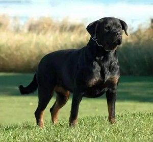 In Iowa Rottweiler Puppies For Sale Rottweiler Puppies Rottweiler