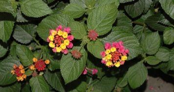 Lantana Year Round Flowers Perennials Flowers Perennials