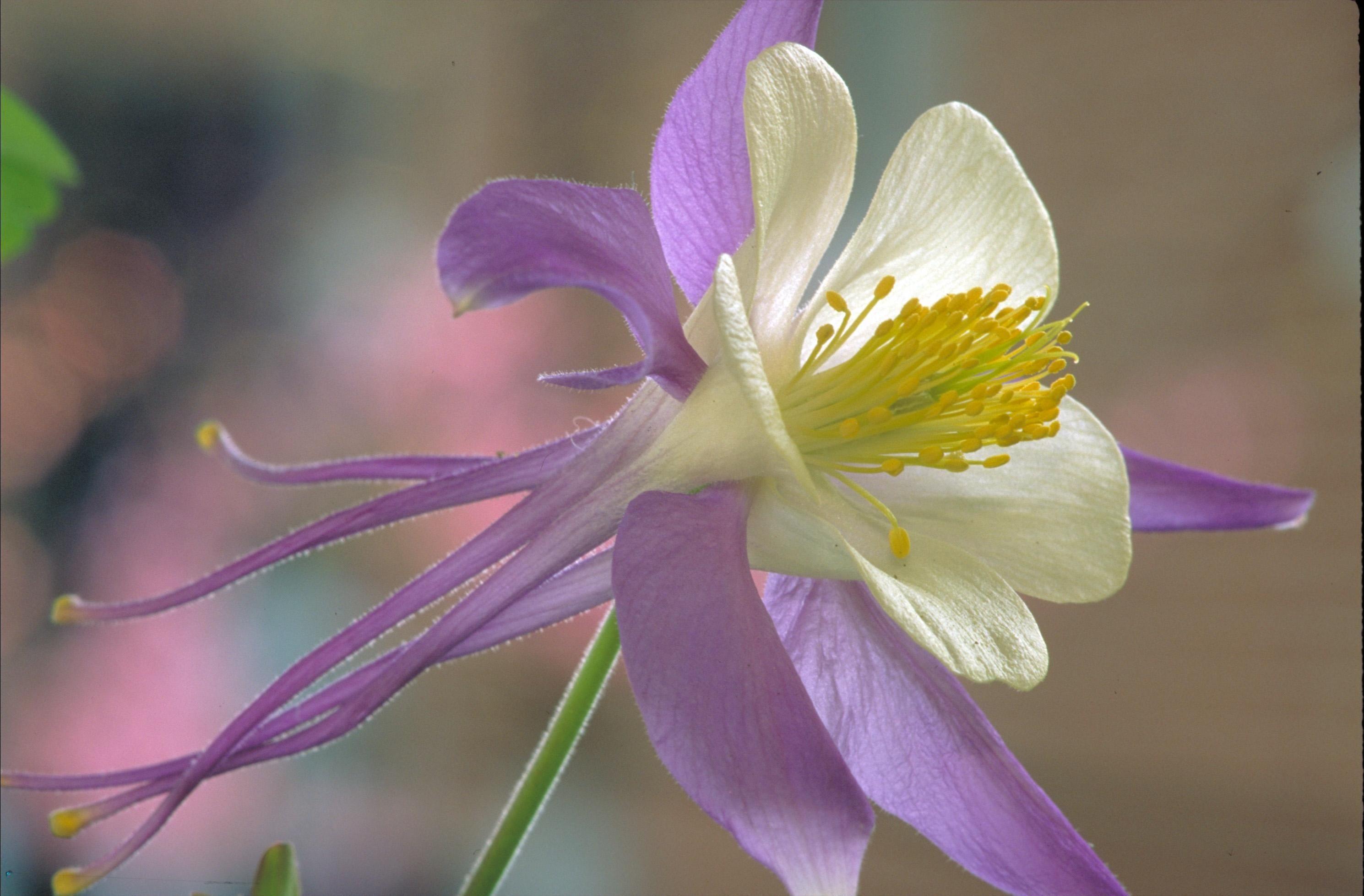 Aquilegia Flowers Rocky Mountain Columbine Copyright Friendly
