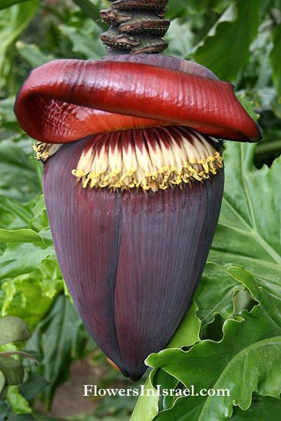 Flowexotic/Musa_banana_flower  this looks like it should be on alice in wonderland