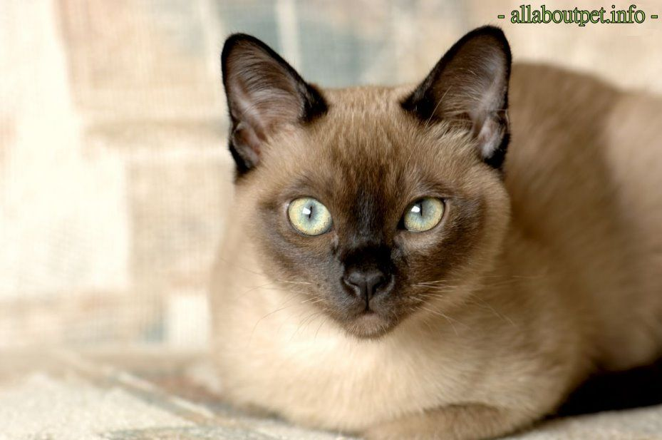 Tonkinese Cat All About Pet Tonkinese Cat Burmese Cat Fluffy Cat Breeds