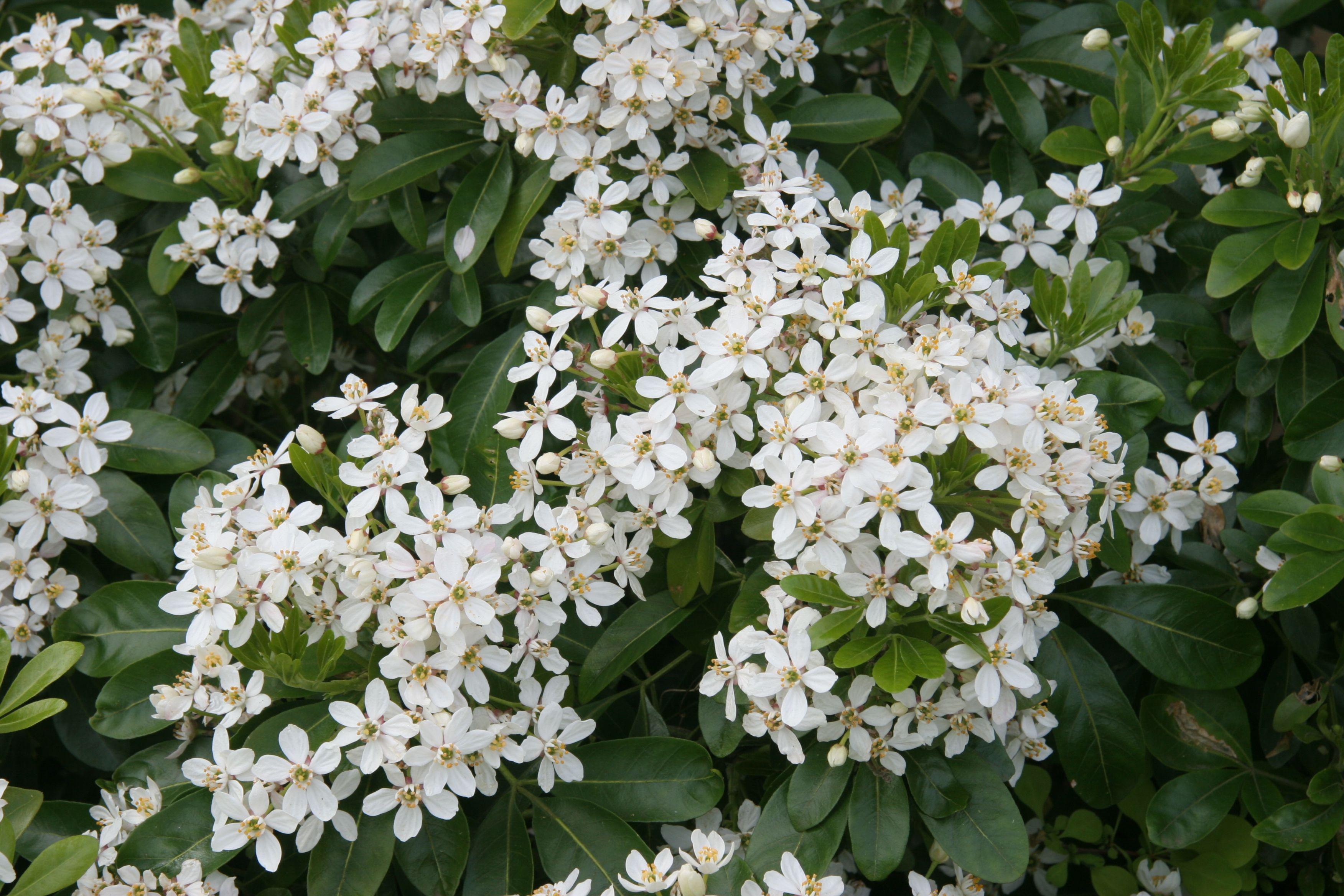 choisya ternata oranger du mexique fleurs blanches tr s. Black Bedroom Furniture Sets. Home Design Ideas