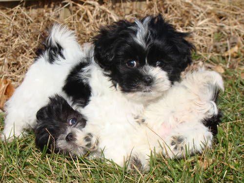 Shih Tzu Maltese Cute Small Dogs Cute Dogs Cute Animals