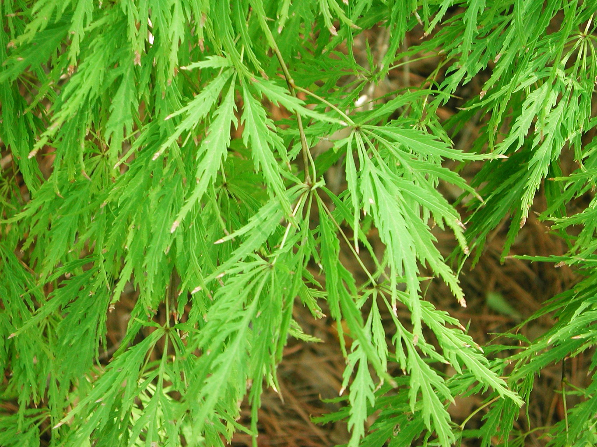How to care for a fern leaf japanese maple - Lace Leaf Japanese Maple Comes In Green