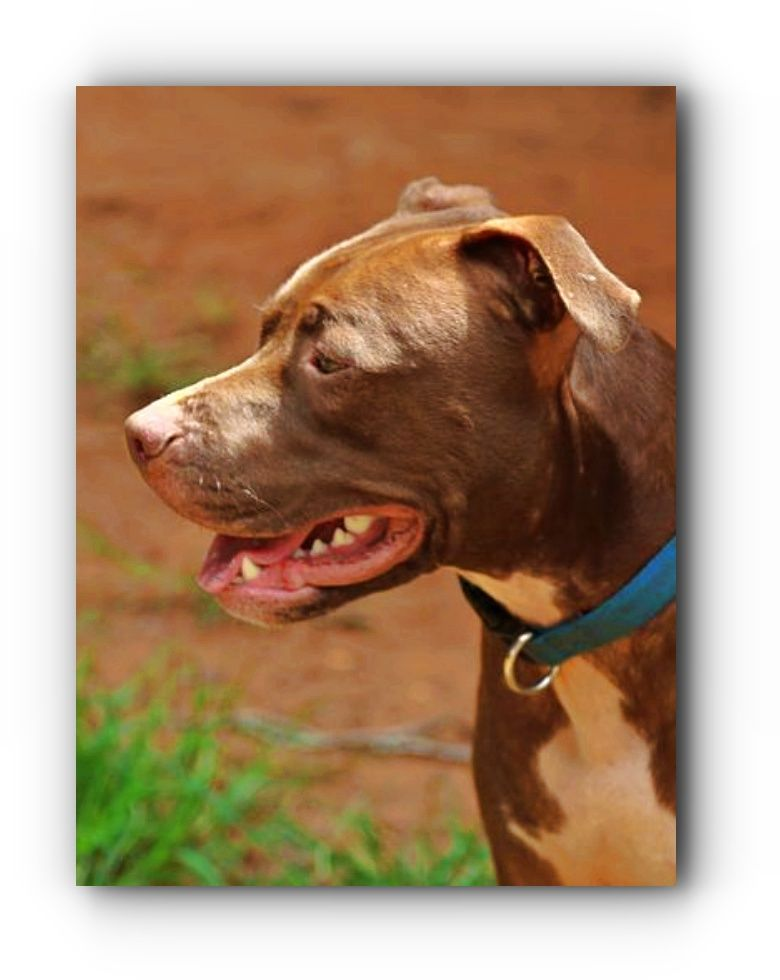 Best Dog Food For Pit Bulls To Gain Muscle Muscle Builder Best