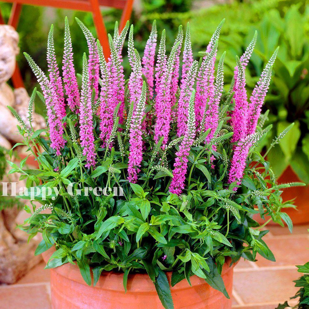 Pink Spiked Speedwell Veronica Spicata 1200 Seeds Perennial Rockery
