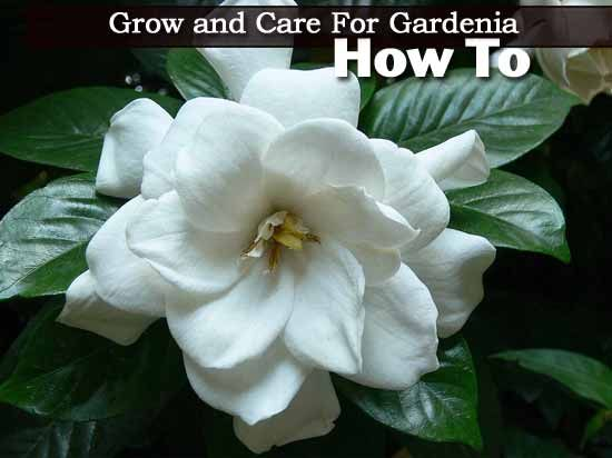 Gardenia Care How To Care For Gardinias Plantcaretoday Gardenia Plant Gardenia Trees Growing Gardenias