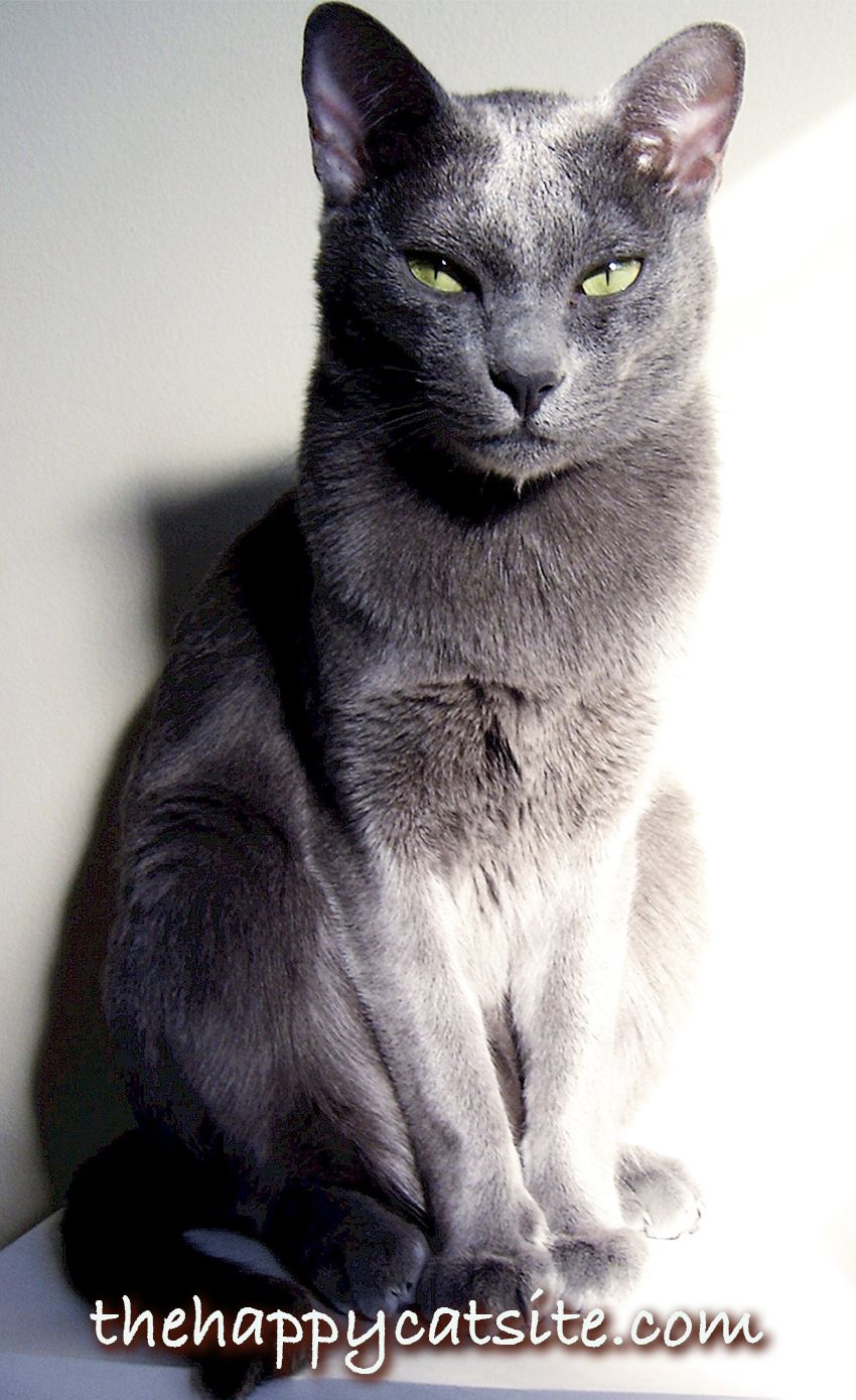 Smartest Cat Breed Revealed Do You Have A Clever Cat Grey Cat
