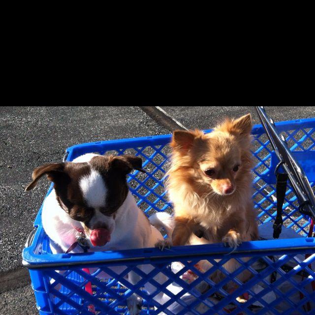 We Be Chihuahua Love Petsmart
