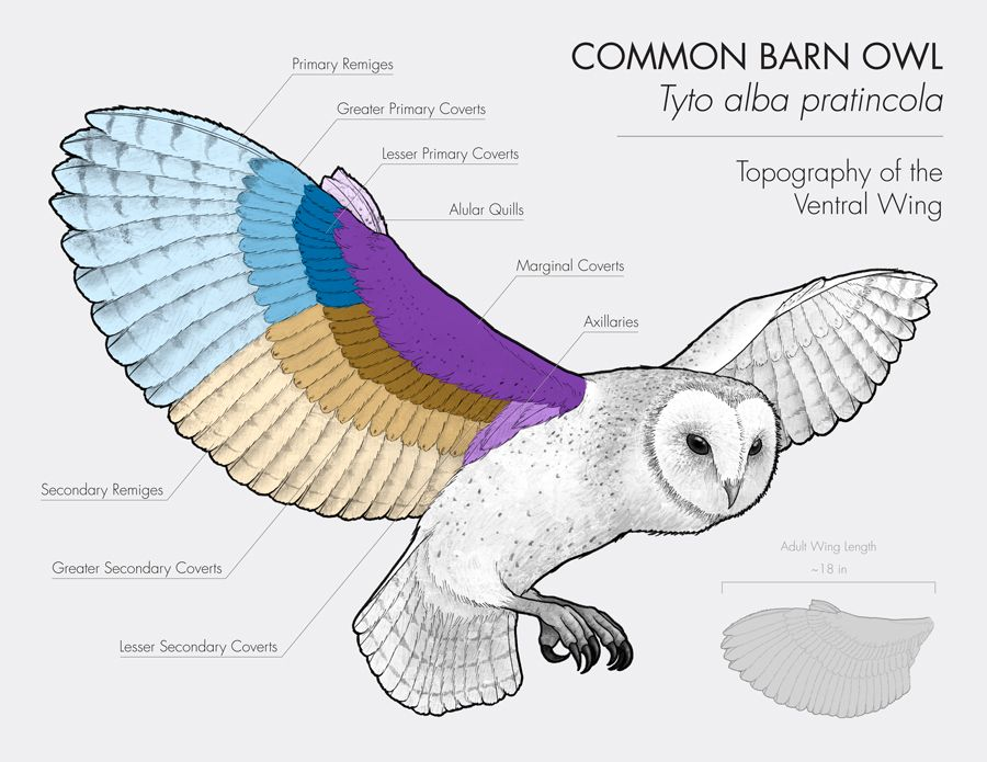 barn owl, owl, scientific illustration, wing diagram, science Great Gray Owl barn owl, owl, scientific illustration, wing diagram, science, biology