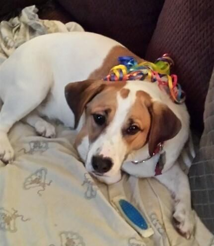 Sunny is an adoptable Corgi, Basset Hound Dog in Mount Olive, NJ Sunny is a year old and very sweet. Sunny is learning to share her favorite bone and needs an e ... ...Read more about me on @petfinder.com