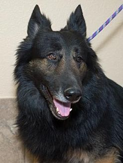 Colorado Springs Co German Shepherd Dog Mix Meet Blackjack A