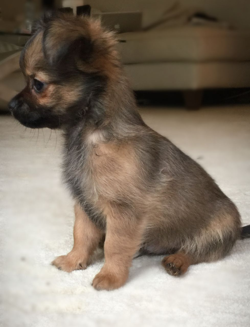Ready Now Long Haired Pedigree Chihuahua Pups Chihuahua