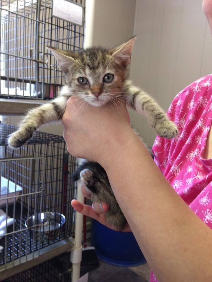 Adopt abby on tabby brown animal shelter pets