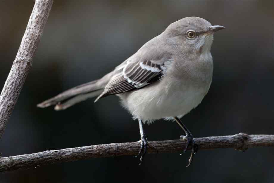 Mockingbirds Are Best Known For Their Ability To Imitate The Sounds Of Other Birds And Insects