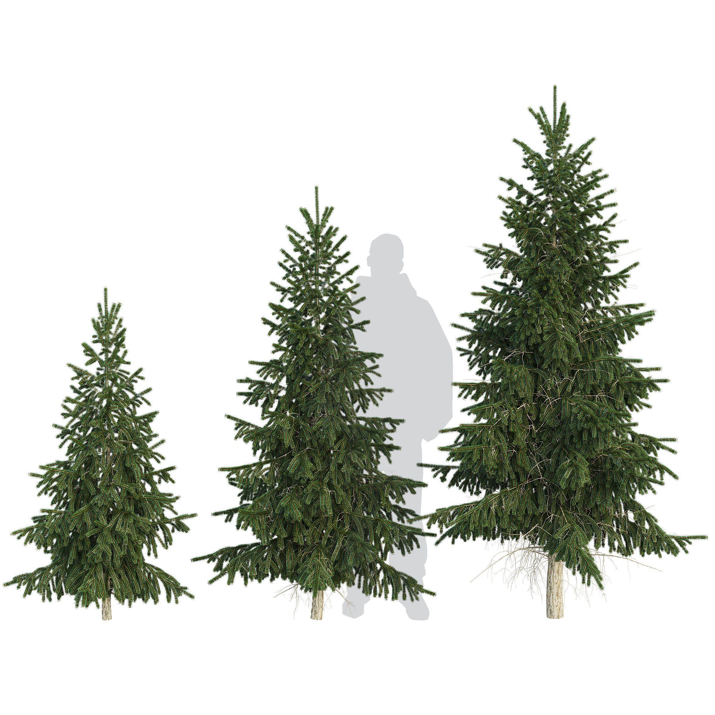 Spruce Tree 3d Model Spruce Tree 3d Model Tree