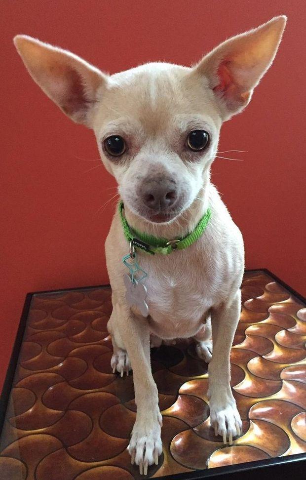 Friendly Chihuahua Needs A Home Chihuahua Pets Animals